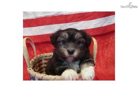 snickerdoodle puppies havanese puppy for sale near springfield missouri 4c819ff1 8d71