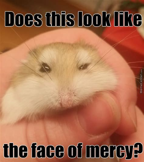 Hamster Meme - 38 best images about hamster memes on pinterest lol