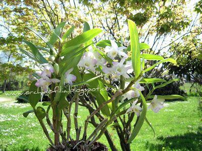 come far fiorire orchidea orchidofilia orchidea dendrobium nobile come farla fiorire