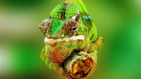 Home Design Ideas Decorating Gardening a guide to caring for pet chameleons