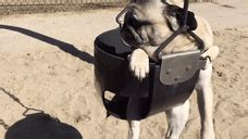 chubbs the pug chubbs the pug at the playground gif create discover