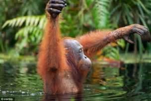 apes orangutans plan night friends