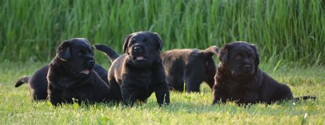 rescue ny labrador rescue ny dogs in our photo