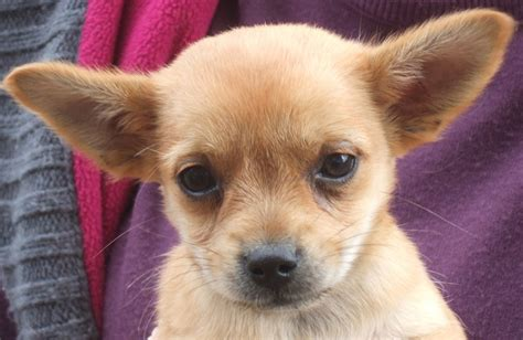 chiwawa yorkie puppies adorable 3 4 chihuahua yorkie x puppies for sale lowestoft suffolk pets4homes