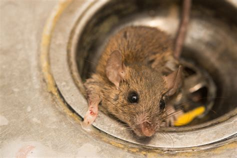 mice in the house mice in house health effects clint miller exterminating