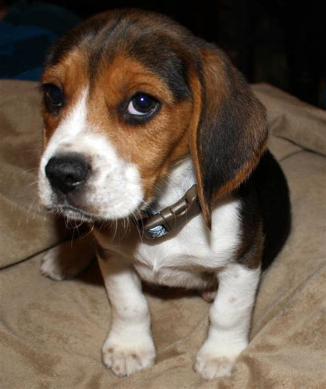 when can i take my puppy outside after vaccinations baby beagle puppies breeds puppies