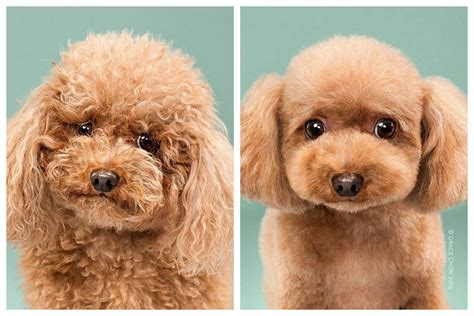 dog haircuts before and after adorable dogs before and after haircuts simplemost