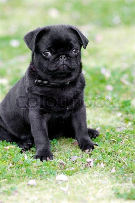 pug puppies wiki a black pug puppy stock photo colourbox