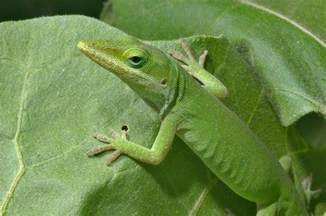 slideshow 892 20 green anole anolis carolinensis