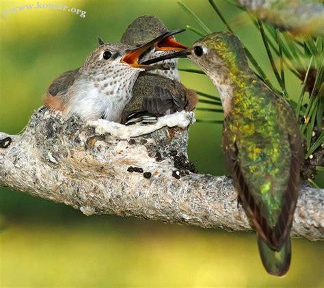 best 25 baby hummingbirds ideas on pinterest humming