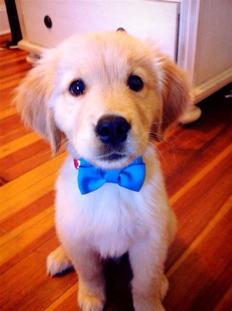 puppy with bow golden puppy with bow tie animal planet bow ties puppys and classic