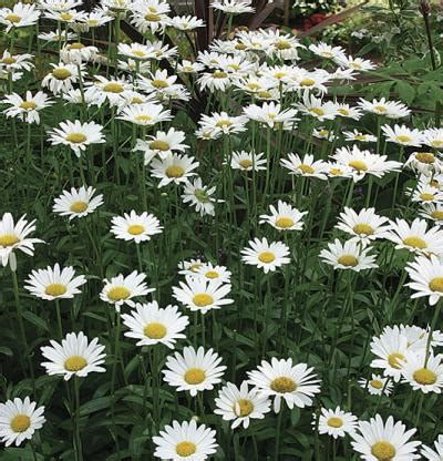 How To Get Curb Appeal - leucanthemum 215 superbum becky fine gardening