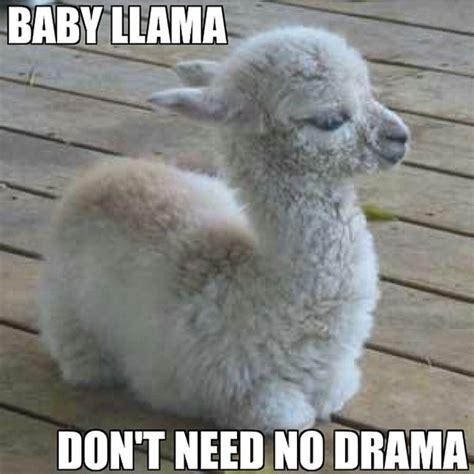 Drama Llama Meme - drama llama meme 28 images oh drama llama find