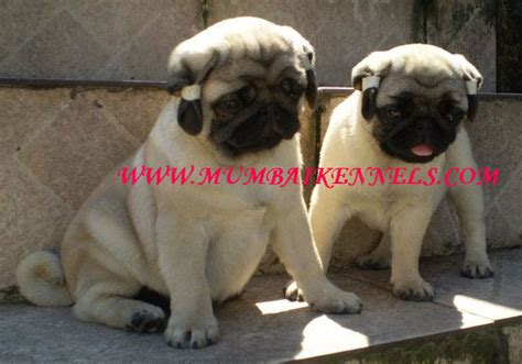 pug for sale in mumbai kci pug for sale show quality chion breeder
