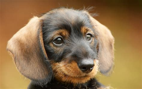 getting a new puppy getting a new puppy are you really ready houston pettalk