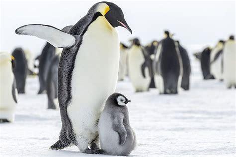 St Pinguin 50 kaiserpinguin