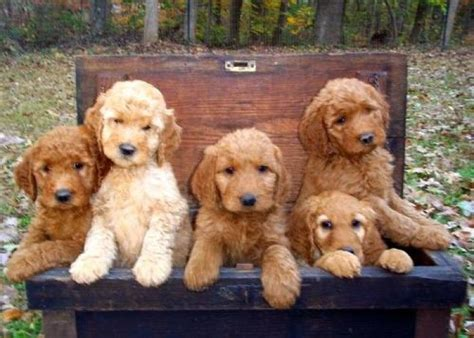 goldendoodle puppies sc f2 goldendoodle puppies at 7 weeks to not repin pint