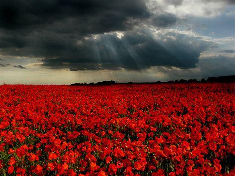 fiori di papaveri i mille papaveri che regalano tante emozioni