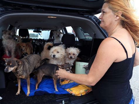 hurricane harvey dogs stranded pet rescues underway amid hurricane harvey flooding breaking us news