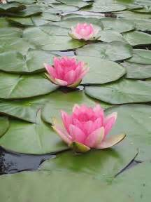 Buy A Lotus Best 25 Water Lilies Ideas On Pond