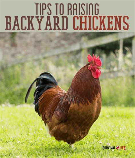 how to have chickens in your backyard how to raise laying hens in your backyard how to raise