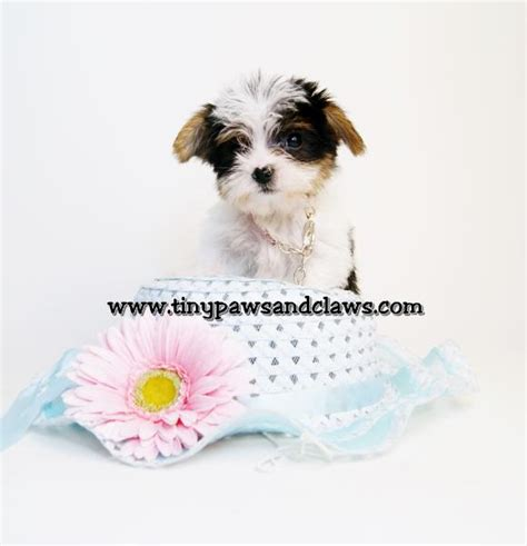 yorkie for sale houston tx tiny teacup yorkie boy anakin for sale in houston breeds picture