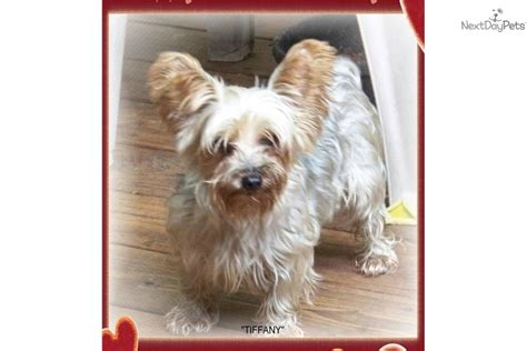 yorkie adoptions dogs to adopt near me pets world