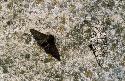Peppered Moth 4220 20069030 171 why evolution is true