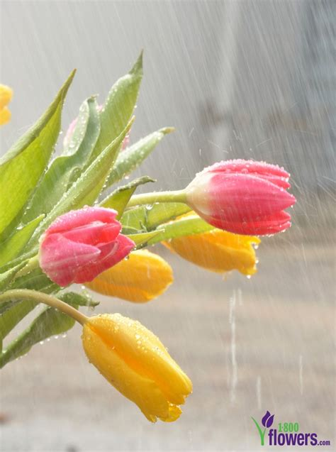 Sweet April Showers Do May Flowers by April Showers Bring May Flowers Origin Petal Talk