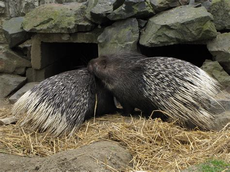 animal indian 03 indian crested porcupine 03 by animalphotos on deviantart