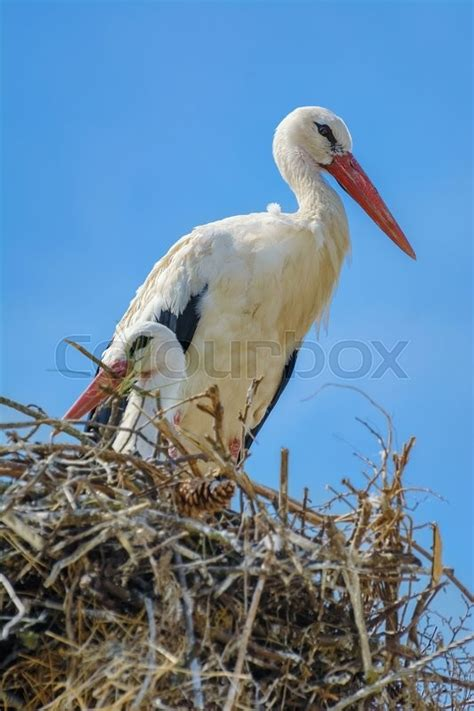 stork animal house two storks in the nest stock photo colourbox