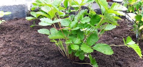 wann pflanze ich erdbeeren erdbeeren pflanzen wann ist der beste zeitpunkt gr 252 neliebe