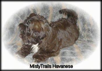 mistytrails havanese havanese breed pictures 1