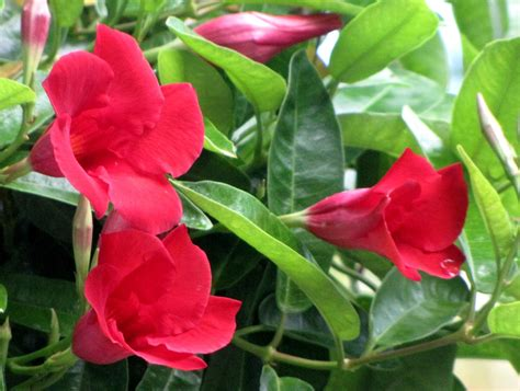pink flowering climbing plants tulsa gentleman ruby tuesday mandevilla