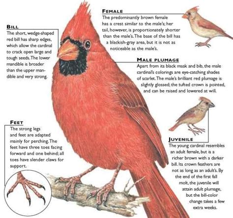 northern cardinal birds