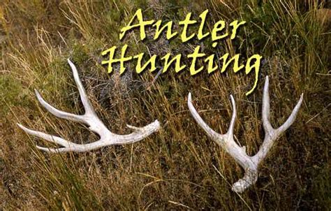 Do Moose Shed Antlers by Antler Wyoming Horn