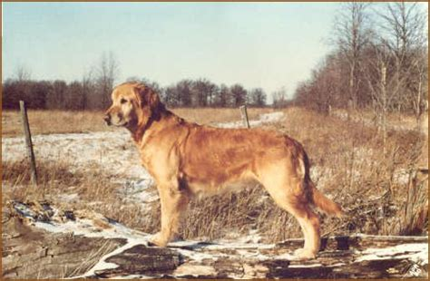 meadowpond golden retrievers wynwood golden retrievers golden puppies breeders hastings michigan