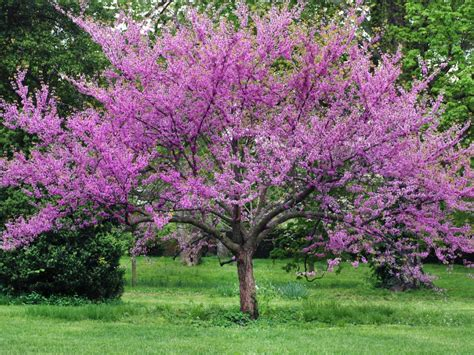 redbud tree 12 great patio trees landscaping ideas and hardscape design hgtv
