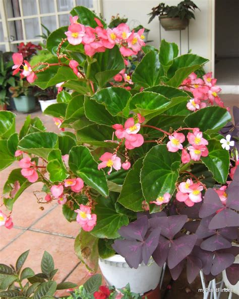 Begonia Planters by Plant Finder Plant Guide Begonia X Semperflorens