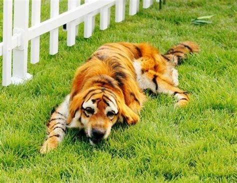 golden retriever tiger costume golden retriever as bengal tiger animals the best of