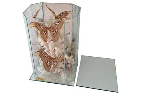 Cabinet Moths by Midcentury Moth Coral Display Cabinet Omero Home