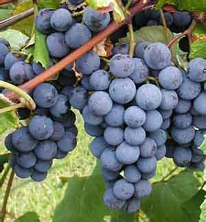 Anggur Ginseng pakai cara organik budidaya anggur pakai cara organik