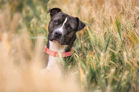 pit gallery american pit bull terrier breed information pictures