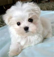 best small dogs for seniors best small breeds for any scenario kanineklub