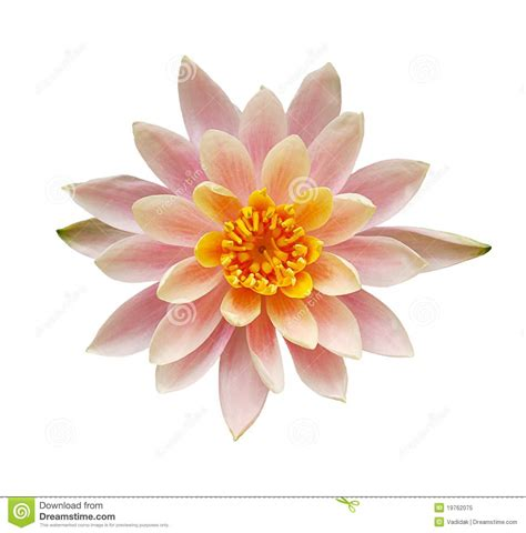 Cut Out Top Flower top view of pink water flower royalty free stock