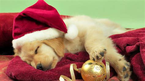 golden retriever puppy wallpaper puppy golden retriever wallpaper