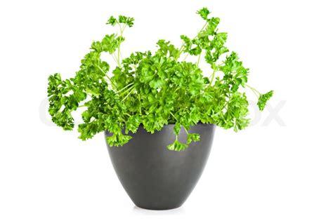 fresh parsley growing  flower pot  white background