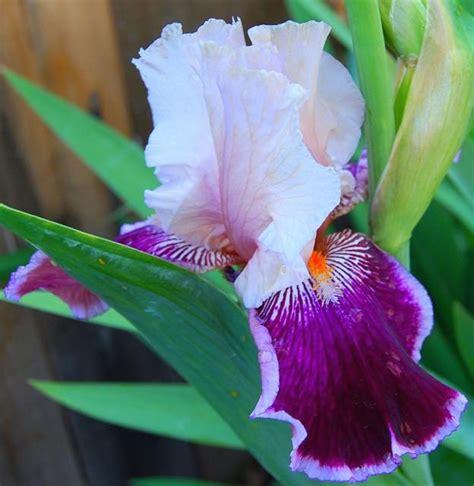 iris flower colors three color iris flower jpg hi res 1080p hd