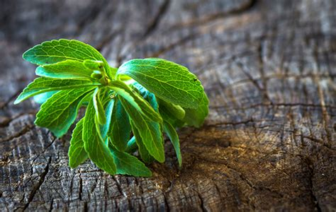 stevia coltivazione in vaso stevia coltivazione il vostro dolcificante naturale
