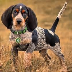 bluetick beagle puppies beautiful bluetick coonhound pup that darn coon bluetick